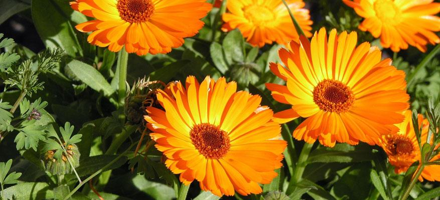Calendula: Relief from irritation